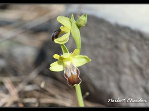 Ophrys des lupercales Belgentier