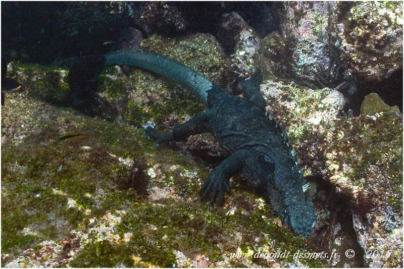 Unique lézard marin au monde, l'iguane marin des Galápagos se nourrit exclusivement de petites algues vertes qui tapissent les rochers immergés. C'est un bon nageur qui peut rester plus d'une demi-heure sous l'eau. En général, il nage près de la surface, ne s'aventurant guère au-delà de 10 m de profondeur.