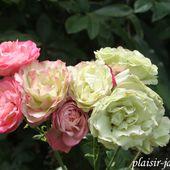 b6. Les rosiers à fleurs groupées et floribunda - plaisir-jardin.com