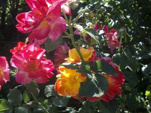 Les rosiers en J. de Ju à Jz.