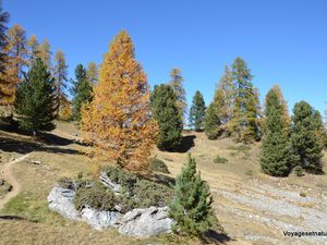 Forêt de mélèzes et de pins cembros