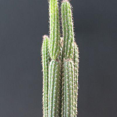Arrojadoa penicillata var. spinosior