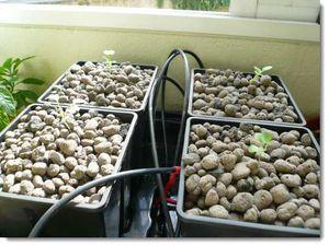 Installation de plantes de chou-fleurs dans les bacs hydroponiques