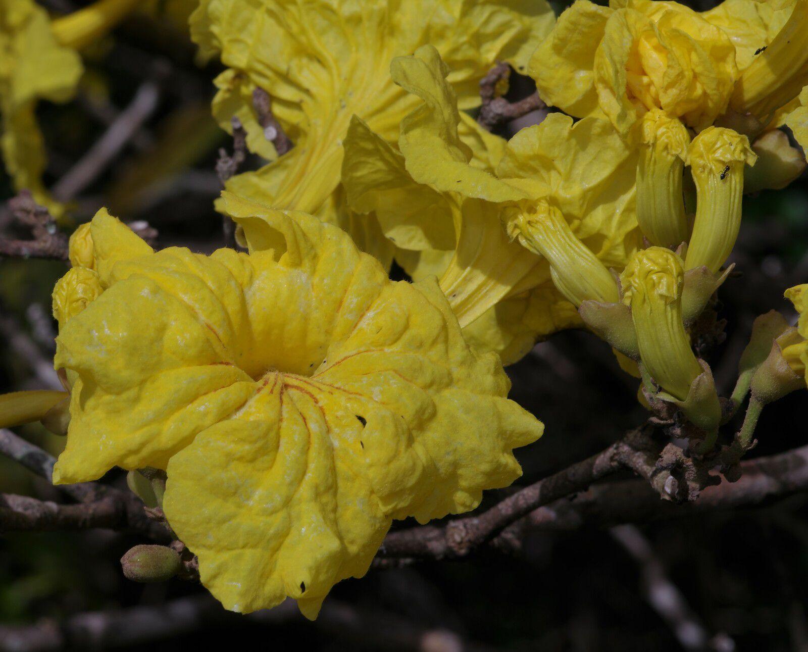 Handroanthus serratifolius (ébène verte)