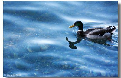 Donald, le canard du Lac...