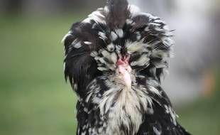 20 minutes: Yvelines: La poule de Houdan, espèce oubliée passée de plat royal à animal de compagnie