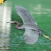 Aigrette bleue - Egretta caerulea - Little Blue Heron