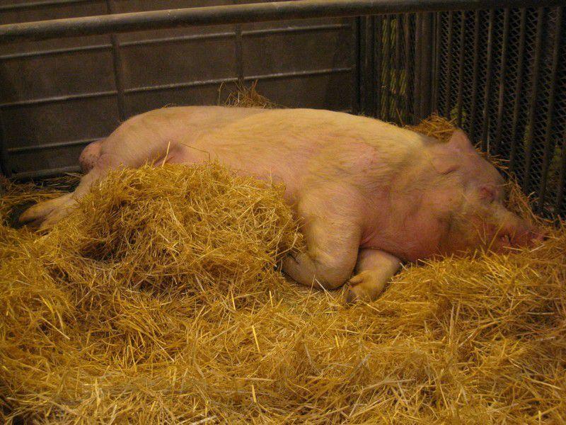 Balades parmi les animaux du Salon de l'Agriculture 2009