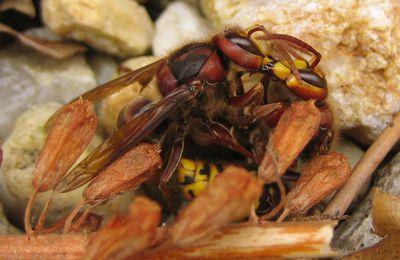Vespa crabro : comportement de trophallaxie ?