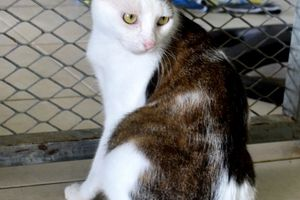 FLAM - chat mâle - né le 1er octobre 2015 - adopté au refuge SPA d'Orgeval
