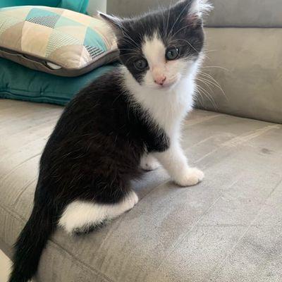 Stryker, chaton mâle noir et blanc de 2 mois, à l'adoption -> adopté