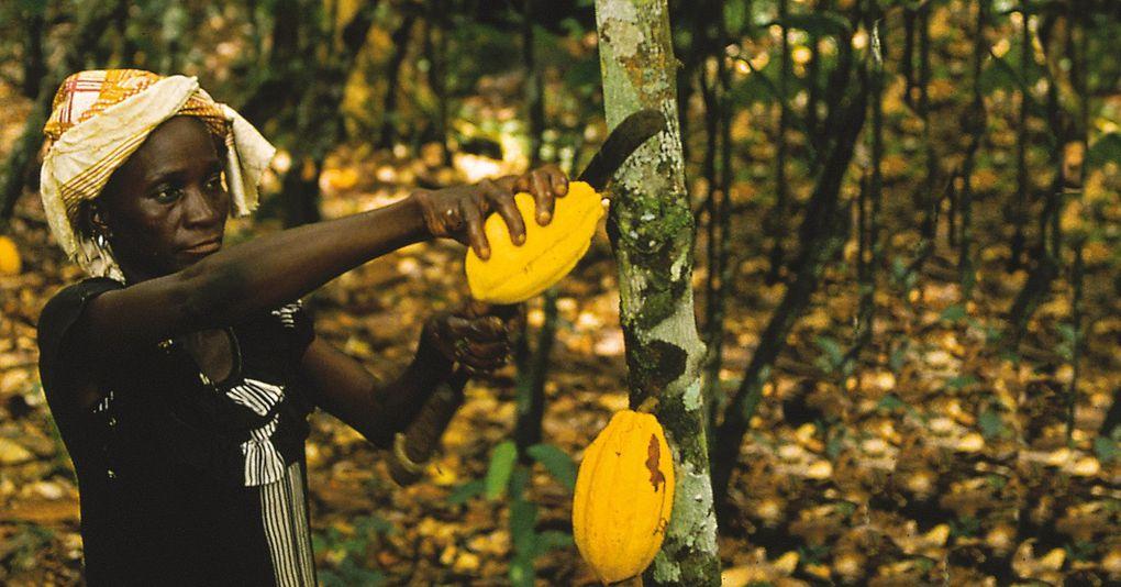 Imágenes plantaciones de cacao en África.- El Muni.
