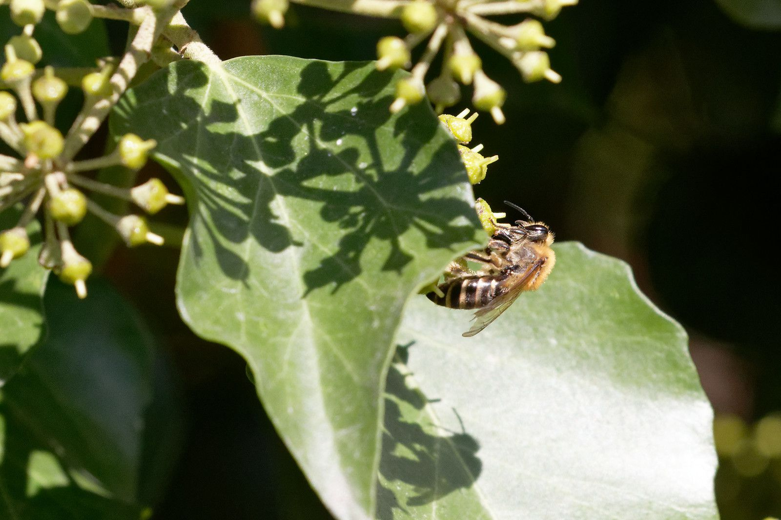 Colletes hederae, Collète du lierre