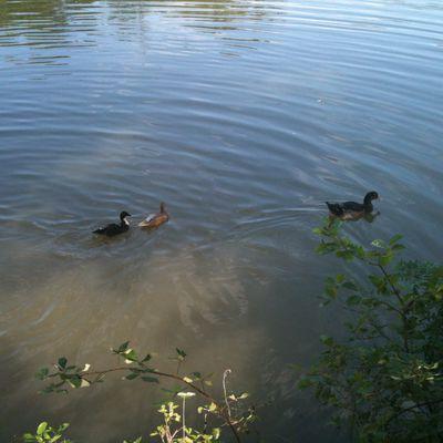 Mes canards et une oie