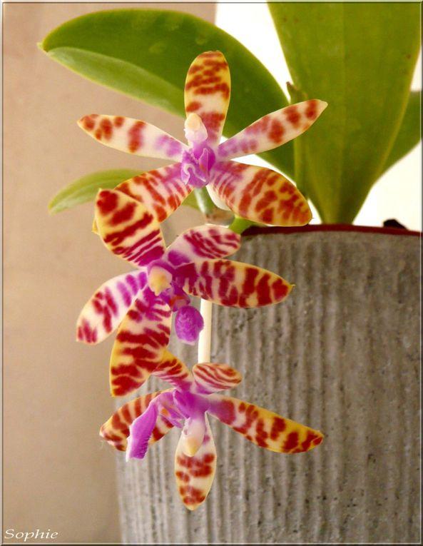 Phalaenopsis botanique, hybride primaire et hybride secondaire