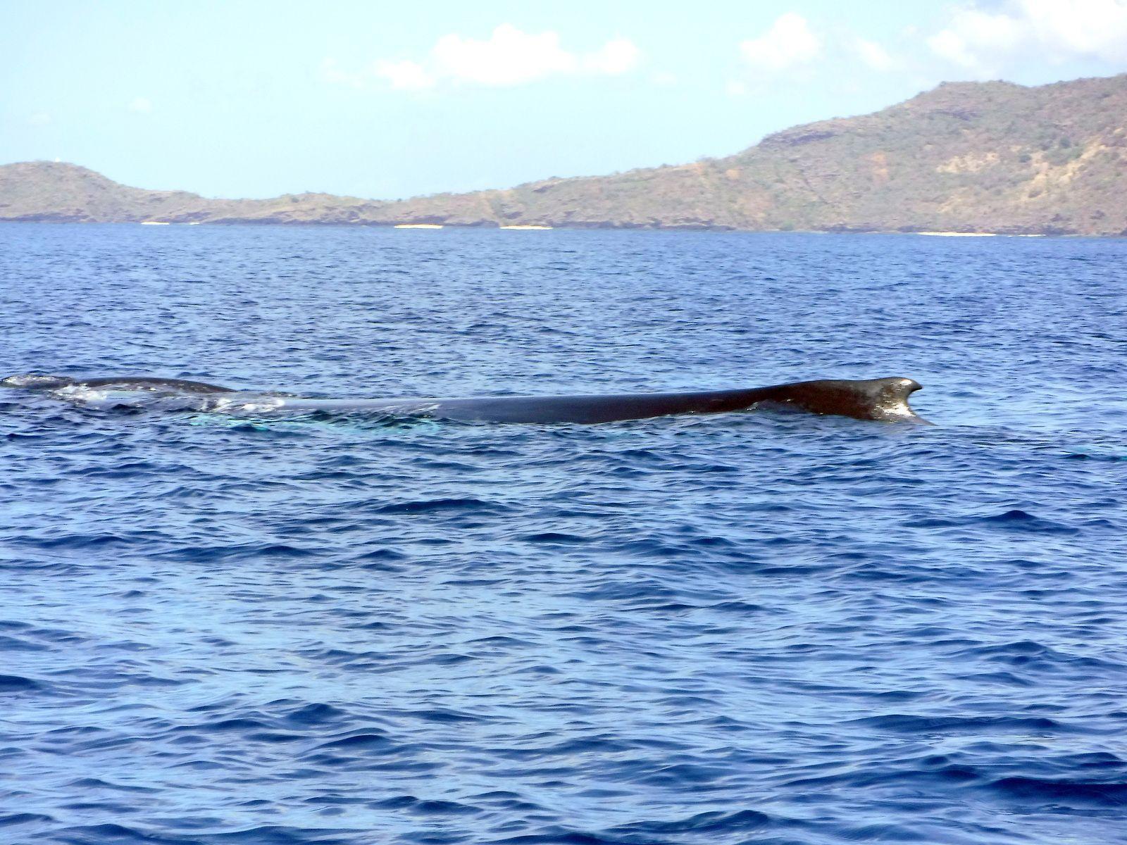 La baleine propulse son petit devant elle, photo Anaële