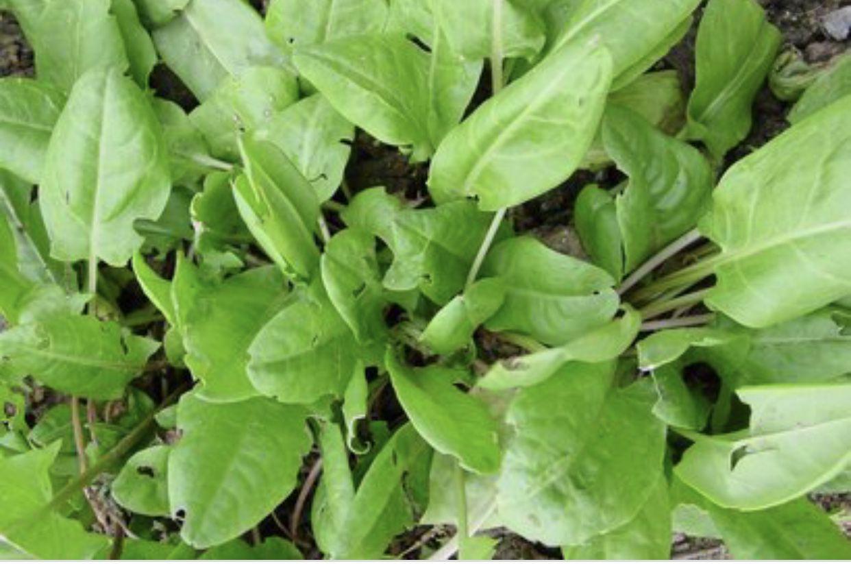 Rumex acetosa, la grande oseille,plante comestible.