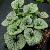 Nouveauté ! Brunnera macrophylla 'Alchemy' - Jard'infos