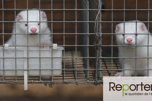 """Et si la pandémie était née dans des élevages intensifs d'animaux à fourrure en Chine ? Le """" chainon manquant """" entre la chauve-souris et l'humain pourrait bien être le vison - le chien viverin..., à la lecture de cet article on comprend pourquoi les autorités chinoises ne souhaitent pas que cela se sache !"""