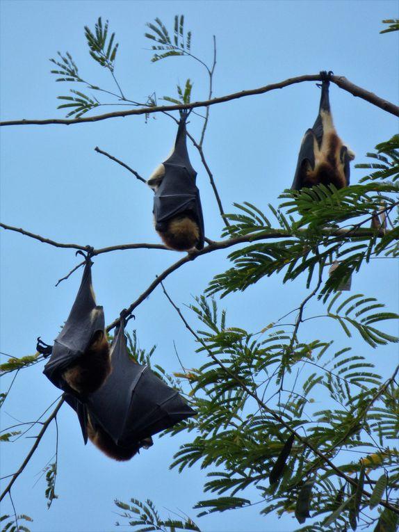 Des chauves souris géantes dans les arbres (Faites défiler le diaporama)