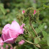 b2. les rosiers mousseux - plaisir-jardin.com