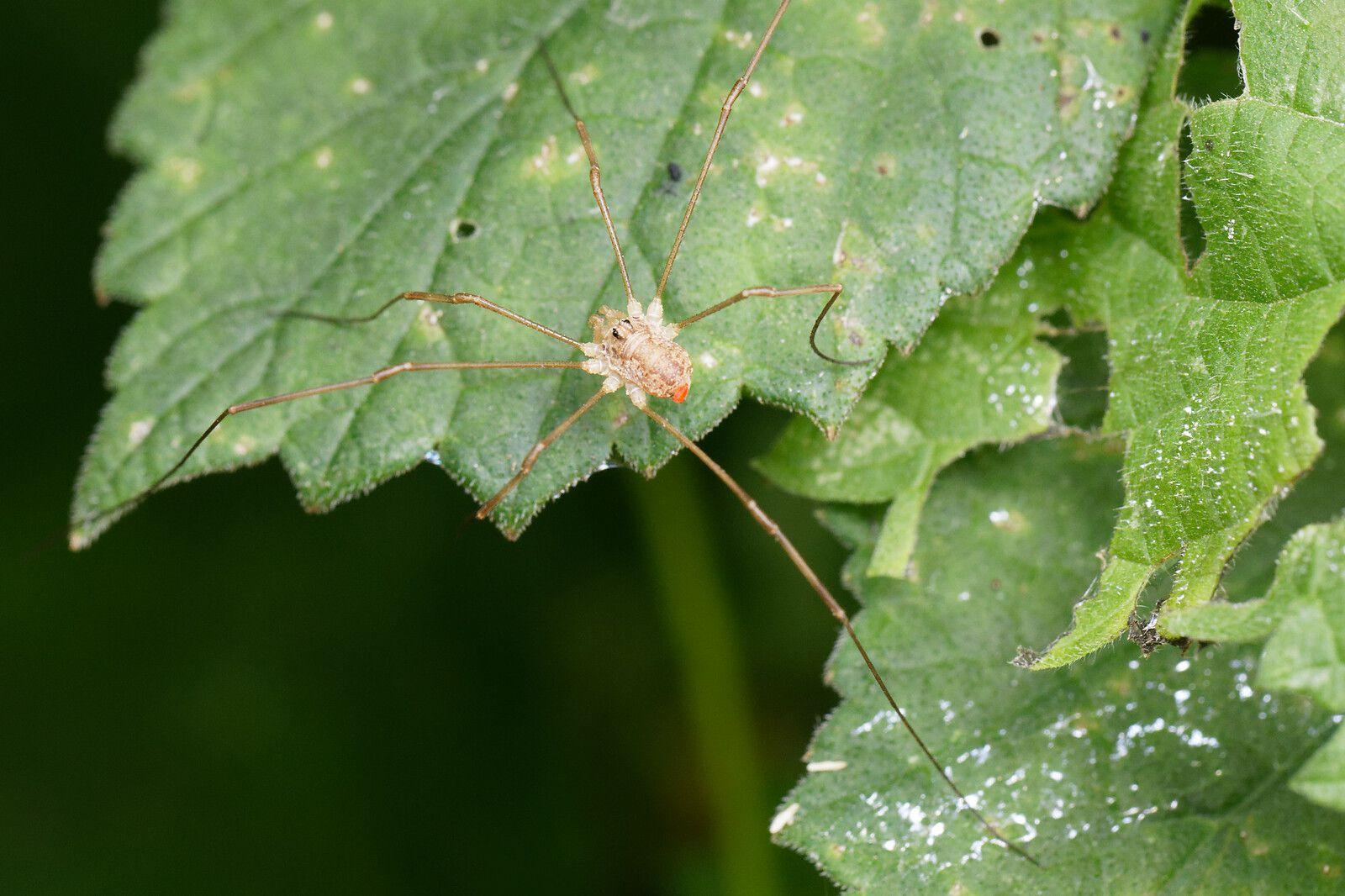 Opilion indéterminé (Opiliones sp) avec une patte en moins