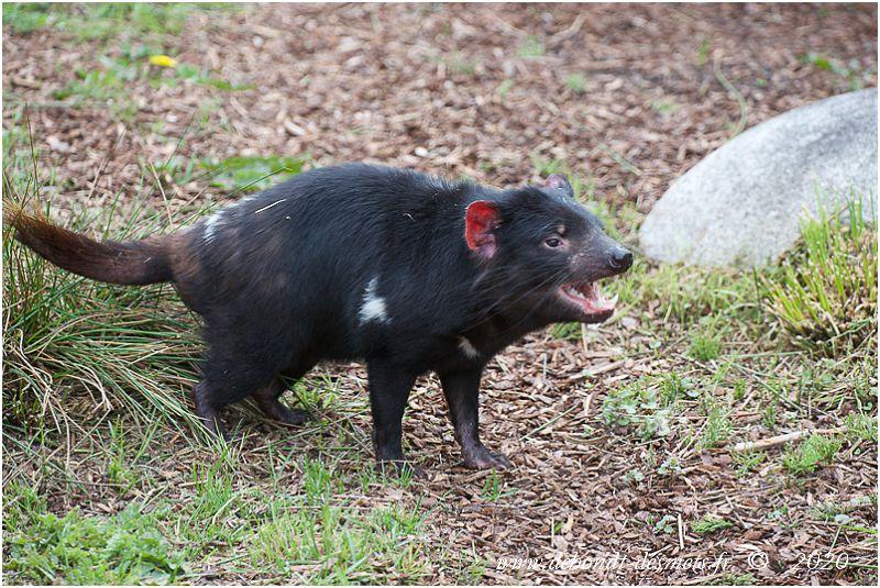 Le diable de Tasmanie doit son nom aux premiers colons européens, qui étaient hantés par ses cris à vous donner la chair de poule !