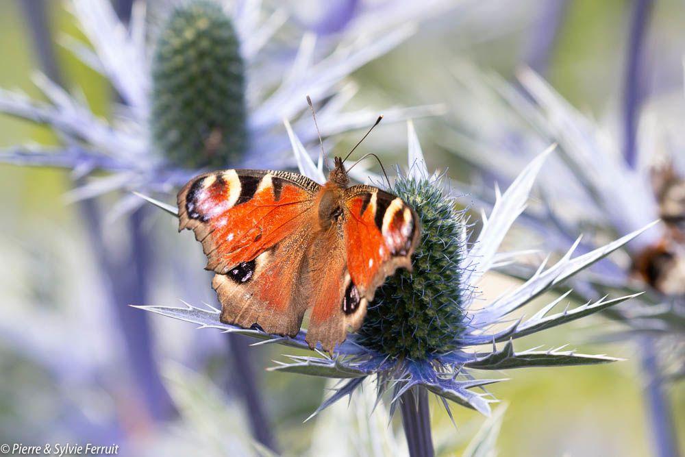 Papillon Paon du jour - Aglais io  Butterfly European Peacock - Vlinder Dagpauwoog