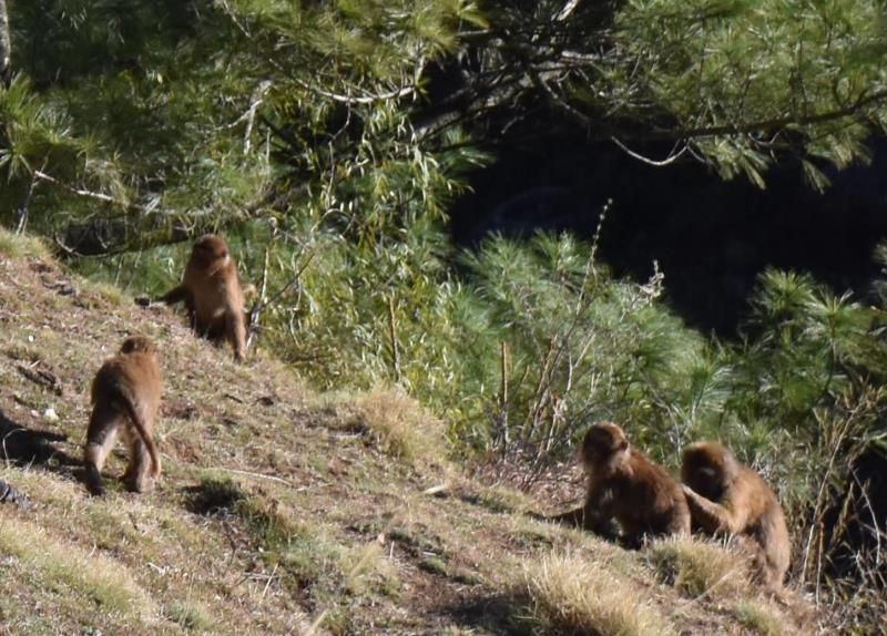 Chumling, Tsum Valley, langurs, singes