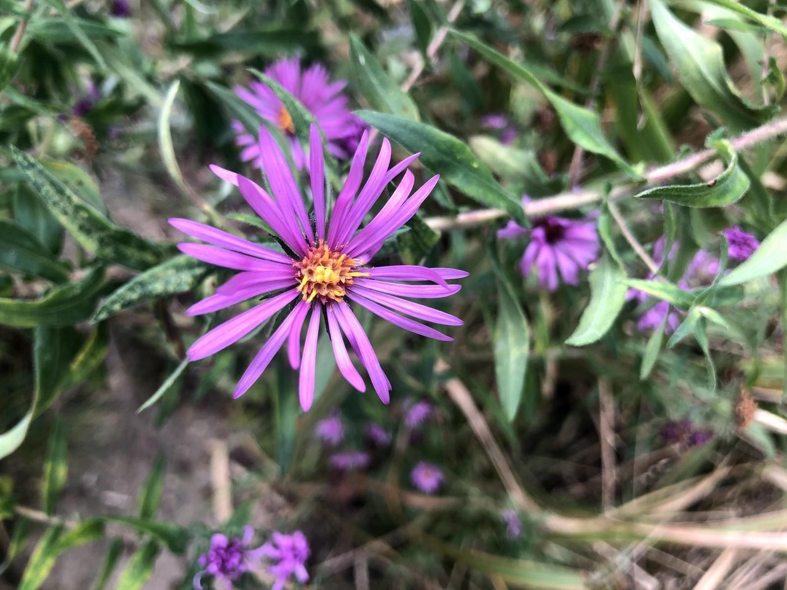 Blue wood-aster