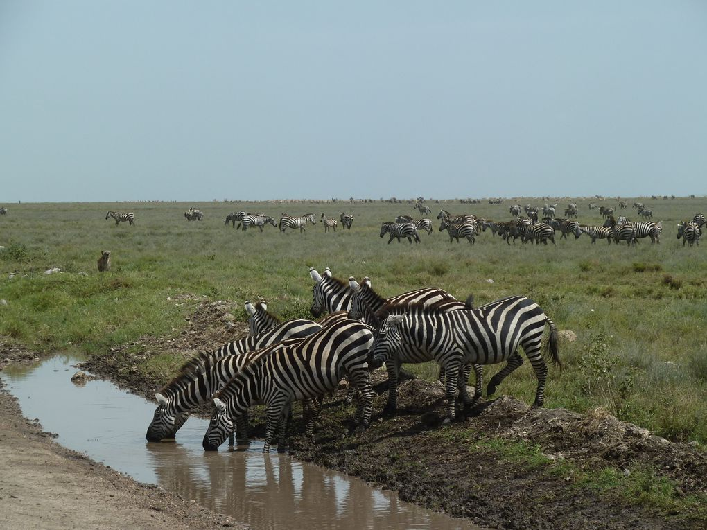 Tanzanie - Parc National de Serengeti. 1/3.
