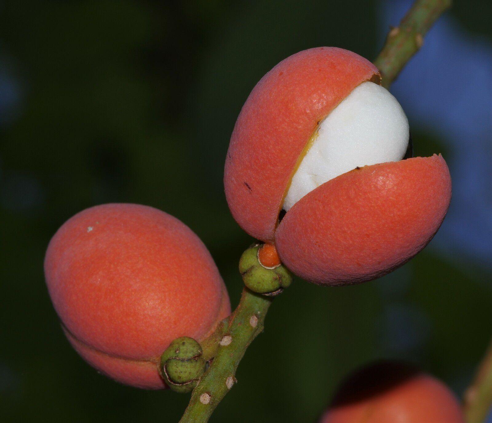Swartzia guianensis