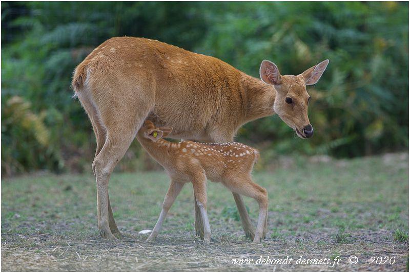 Grâce à un lait très nourrissant, les faons de cerf barasingha grandissent vite.
