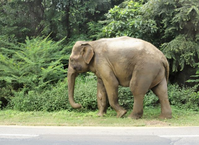 Sri Lanka : Eléphants sur le bord de la route