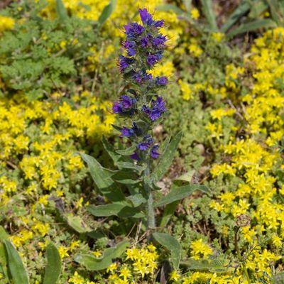 La vipérine - Fleur à papillon