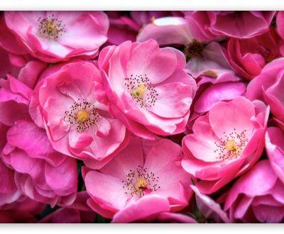 au jardin de wild rose - Fleurs de Bach