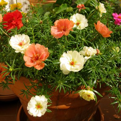 Pourpiers en fleurs