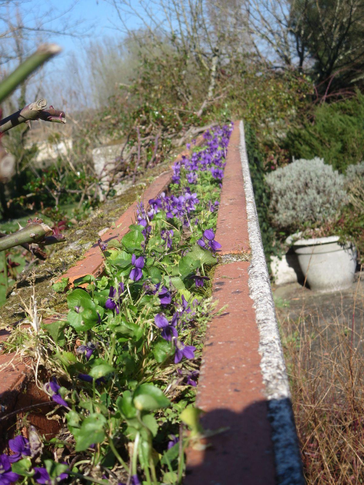 La terrasse et ses abords sont encore bien nus mais ça bourdonne quand même et puis je finis cet article sur les frileuses du patio trop froid, qui fleurissent timidement .