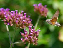 Le Papillon Colibri