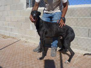Galgo black  à adoptersous contrat associatif
