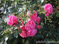 Les rosiers en D