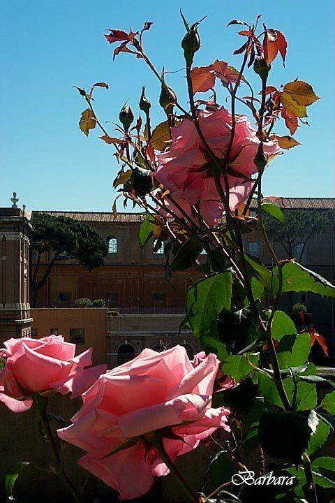 A metà maggio i Giardini Vaticani sono rallegrati da un'esplosione di rose dalle piu' svariate sfumature