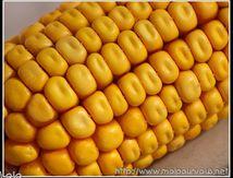 Graines de maïs ...