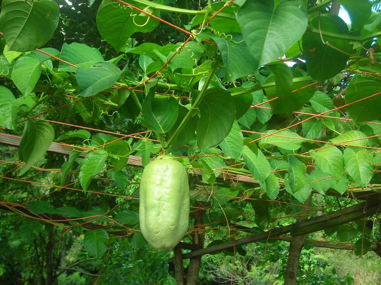 Barbadine, Grenadille géante, Grenadine (Haïti) – Passiflora quadrangularis (Linné 1759) - Passifloracées