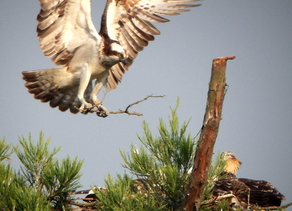 Toutes les phases de la nidification et de la reproduction parfaitement réussie en 2014, avec trois jeunes magnifiques à l'envol.