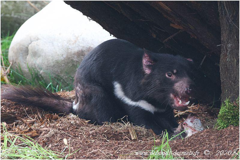 Le régime alimentaire du diable de Tasmanie en fait l'homologue de la hyène africaine, car c'est un charognard qui engloutit les cadavres les moins appétissants.