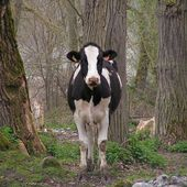 Humour Christiane TAUBIRA: Le chauffeur et la vache