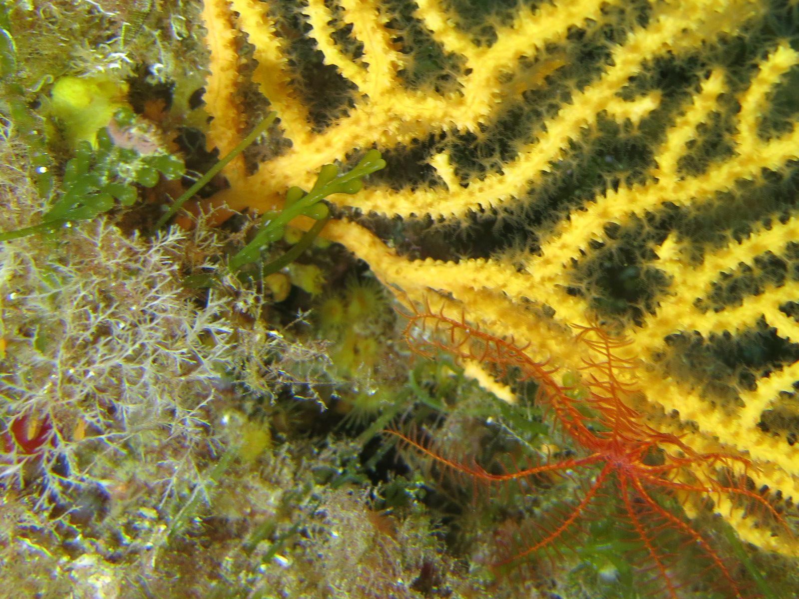 sur cette gorgone jaune Eunicella cavolini se trouve une comatule Antedon mediterranea, plutôt rare en Méditerranée. Seuls représentants visibles (par les plongeurs) de la classe des crinoïdes sur nos côtes européennes, les comatules font partie des rares représentants du très ancien et primitif groupe qui peuplait les fonds des mers depuis l'ère primaire jusqu'à la fin de l'époque secondaire (nombreux groupes fossiles) pour la majorité d'entre eux.  GF