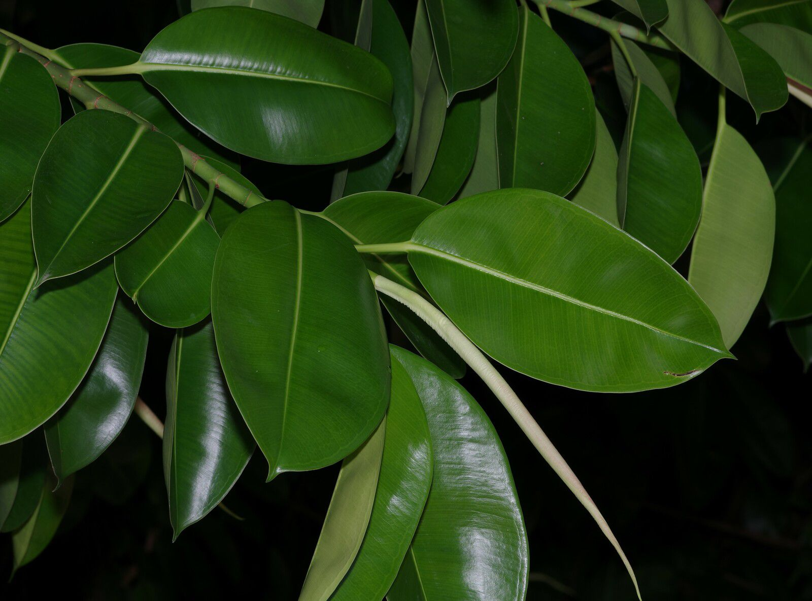 Ficus elastica (caoutchouc)
