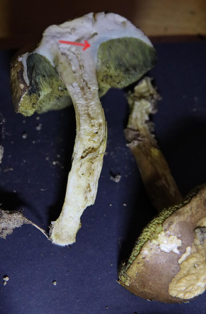 Bolet bai - Imleria badia